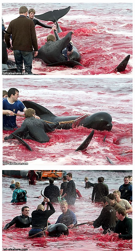 Whales slaughtering for human consumption
